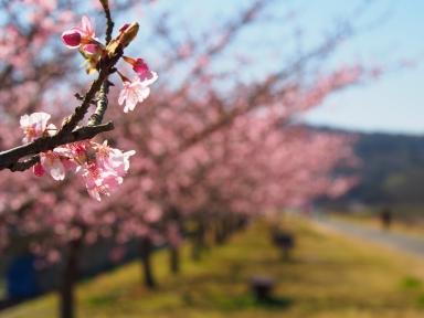 伊豆 河津桜