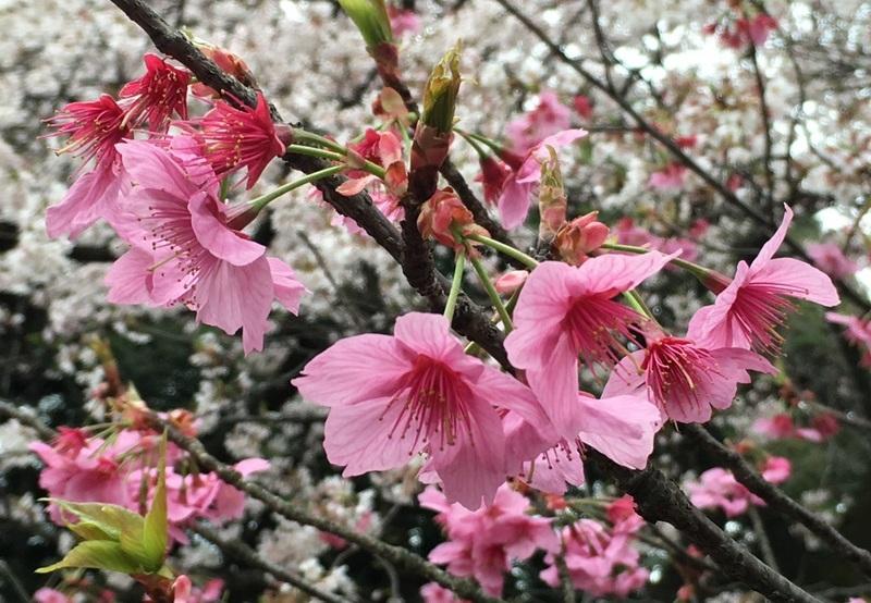 新宿御苑2016ヨコハマヒザクラ