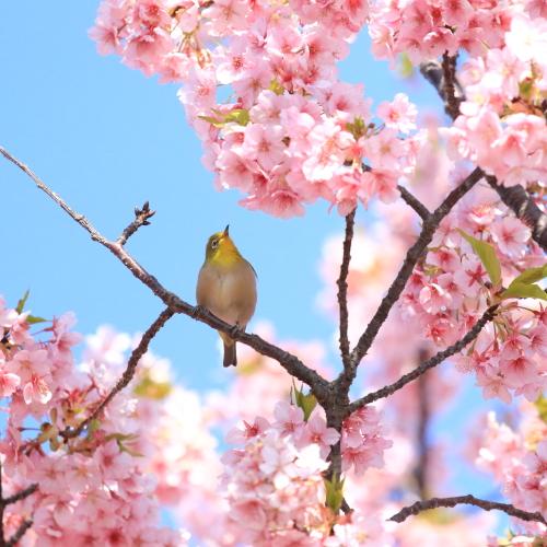河津桜とメジロ 2016