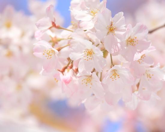 大人の桜photo遠足 03/27/2017