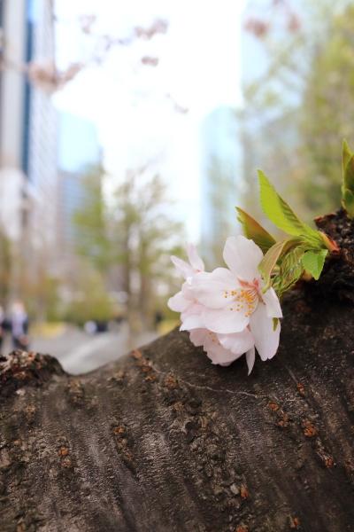 イチローと花見 2016