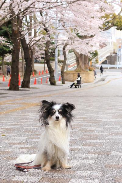 イチローと桜んぽ 2016