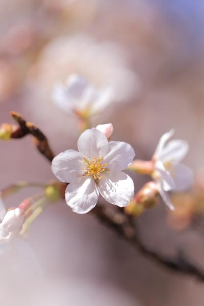 桜んぽ 2016