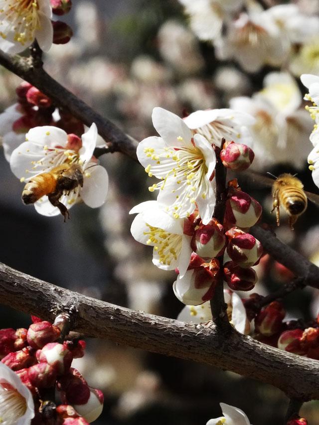 梅の花と蜂5