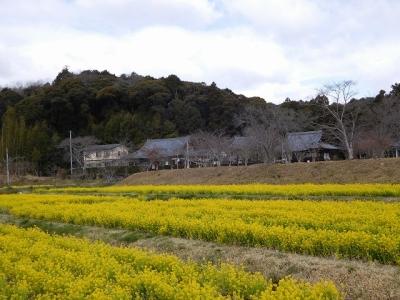 大御堂観音寺周辺(菜の花)