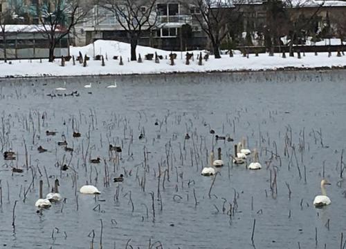 2016-02-10白鳥