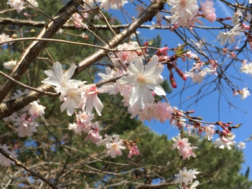 2016-03-29桜