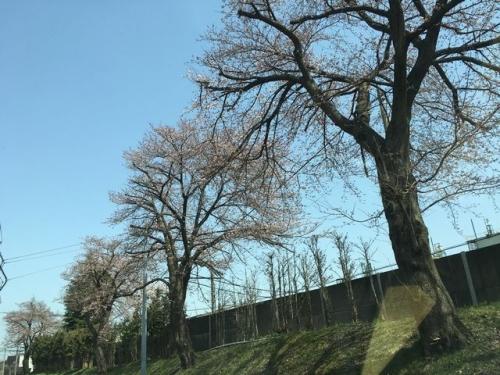 2016-04-02桜