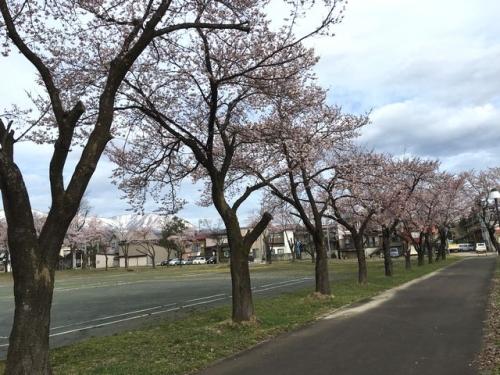 2016-04-03文化ホール桜1