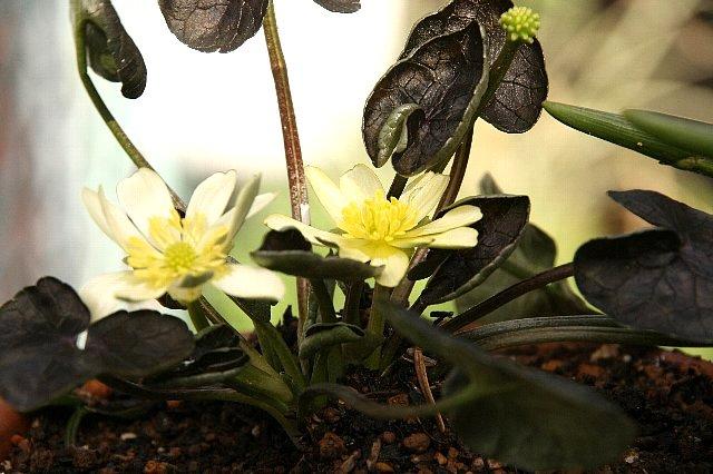 ヒメリュウキンカ 黒葉 白花