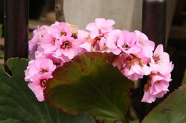 ヒマラヤユキノシタ1
