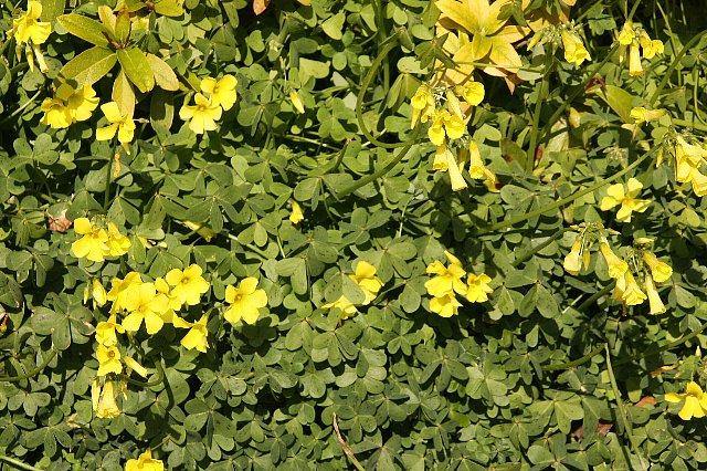 大黄花カタバミ2