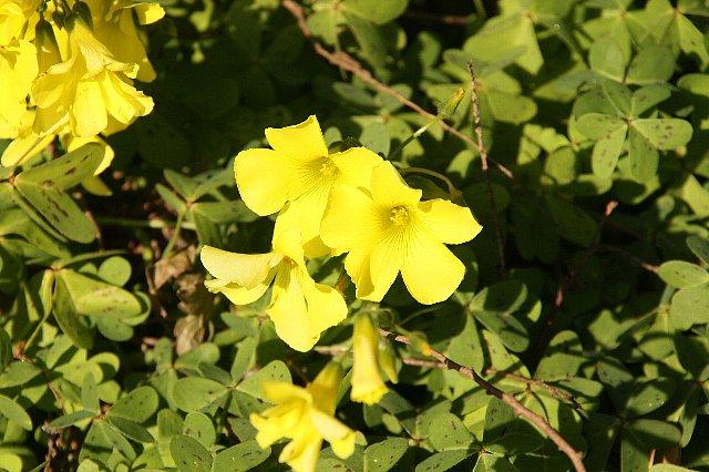 大黄花カタバミ