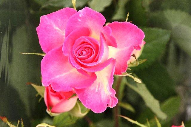 薔薇 セカンドラブ