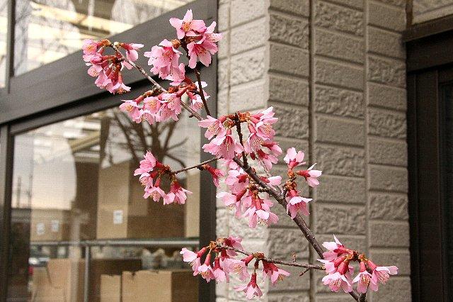 おかめ桜1