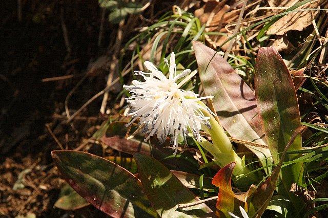 ショウジョウバカマ 白花