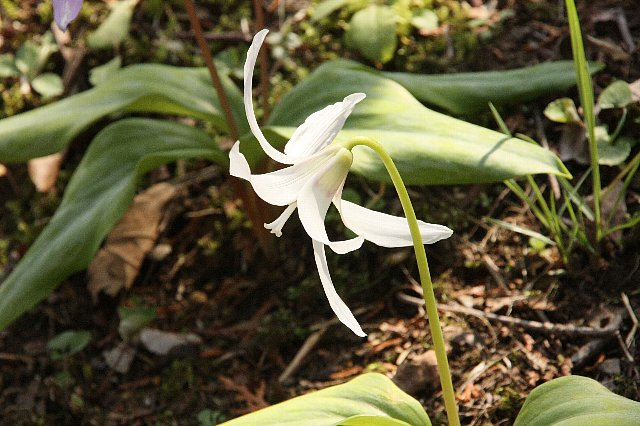 白花カタクリ2