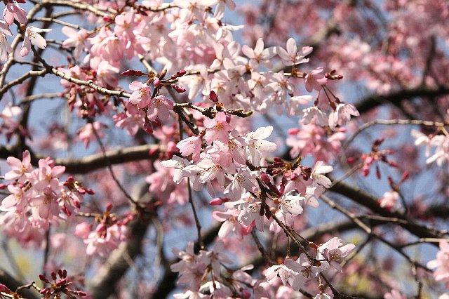 枝垂れ桜 一重