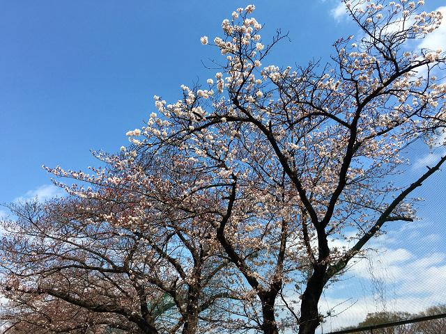 開花の進行が遅い2016年3月27日東京の桜2 by占いとか魔術とか所蔵画像