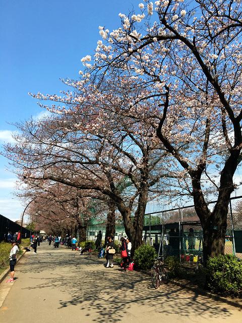 開花の進行が遅い2016年3月27日東京の桜3 by占いとか魔術とか所蔵画像
