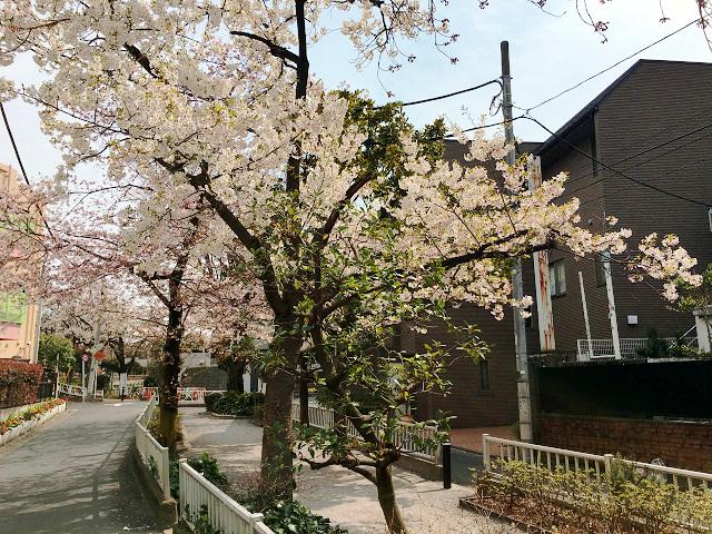 2016年3月30日満開になった東京桜3 by占いとか魔術とか所蔵画像