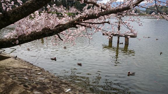 橿原神宮の鴨