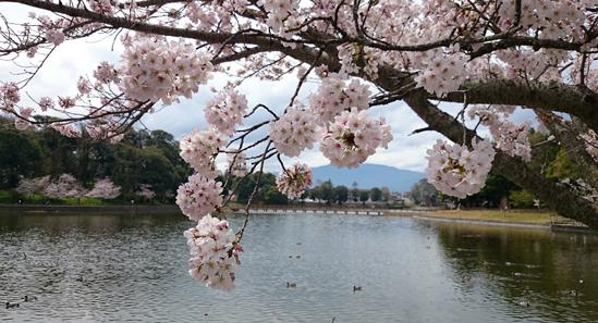 橿原神宮の桜1