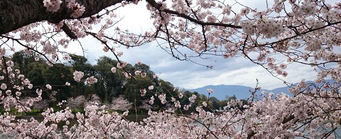 橿原神宮の桜2
