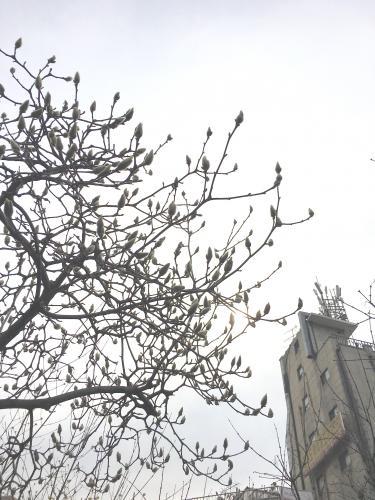 木蓮の蕾を見て春を感じる。