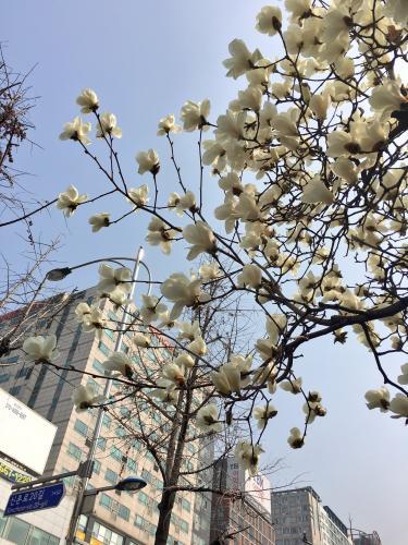 木蓮の花を見て思う事。