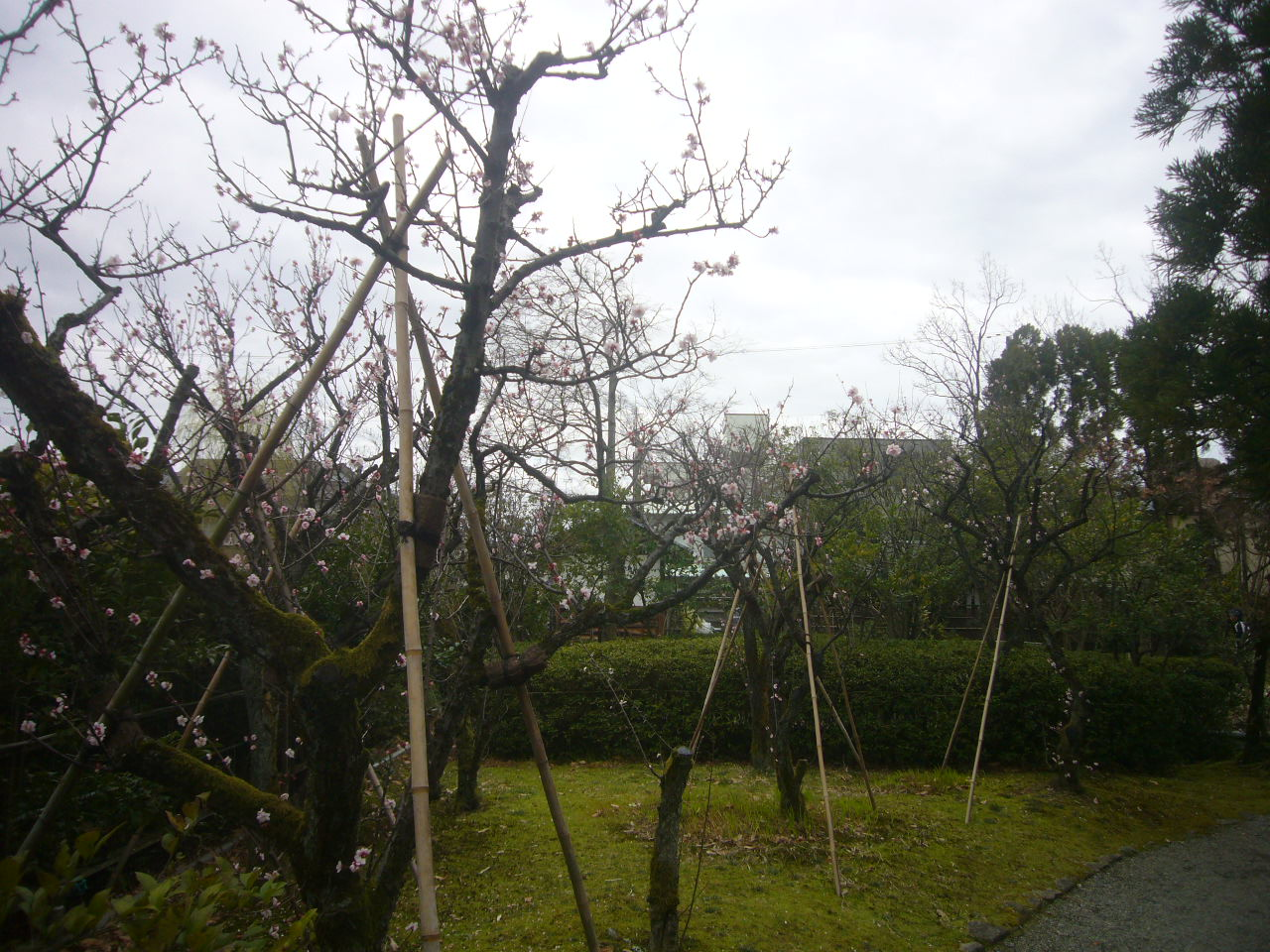 梅は咲いた H28.3.21