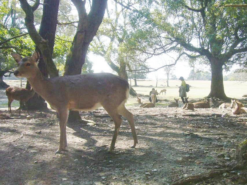 奈良公園の鹿 H28.3.23
