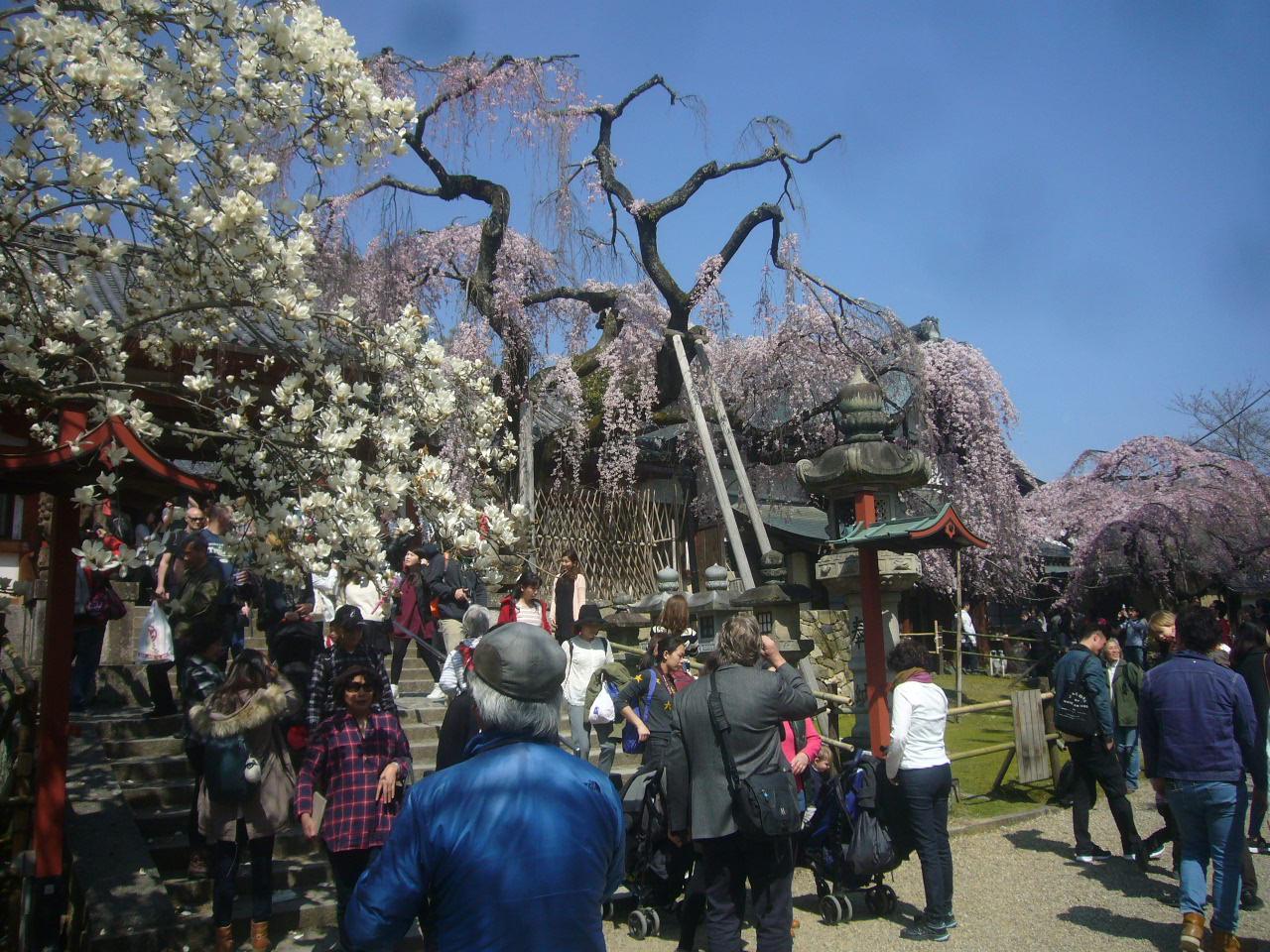 氷室神社、花と人 H28.3.23