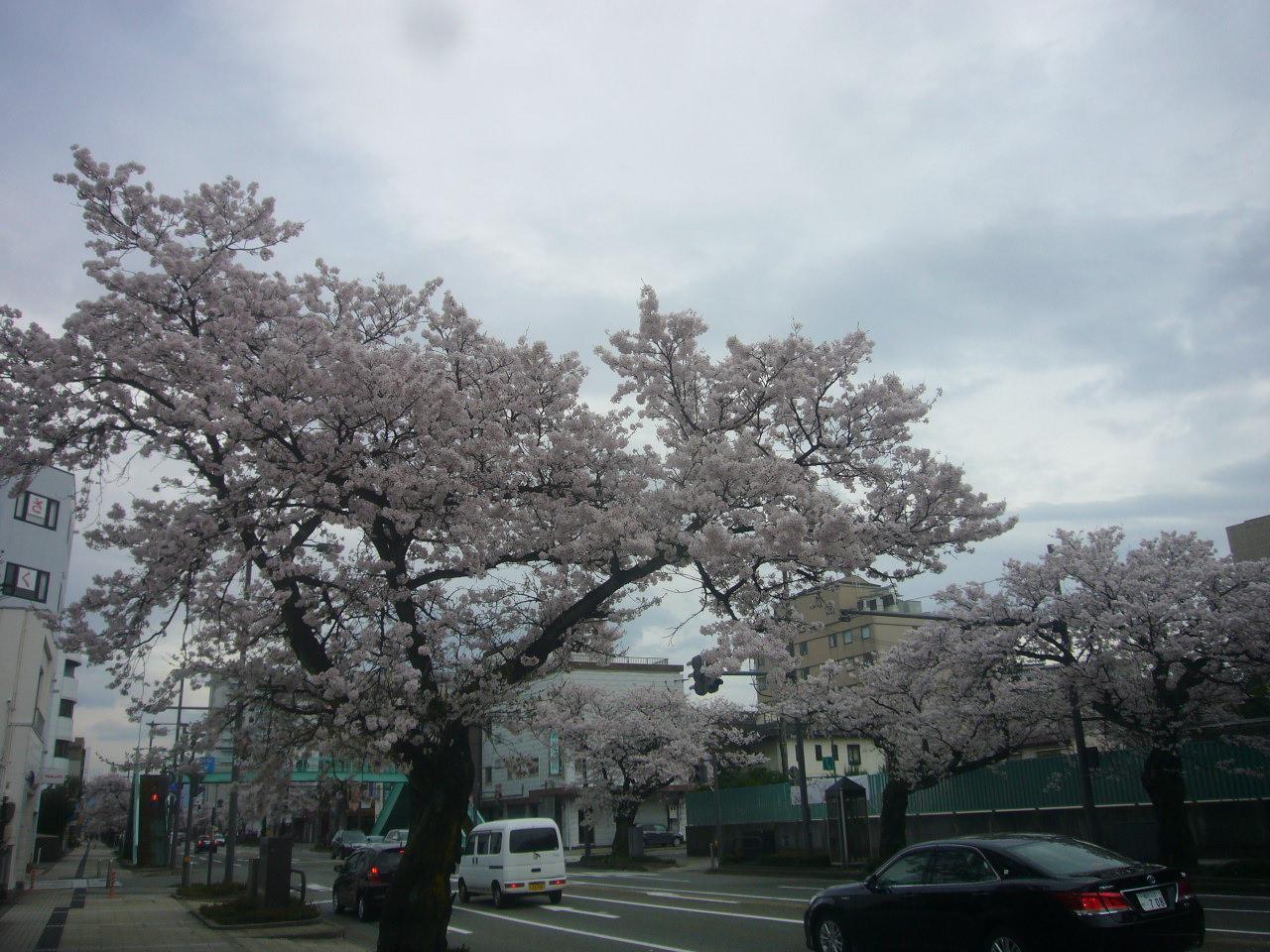 桜通り H28.4.3