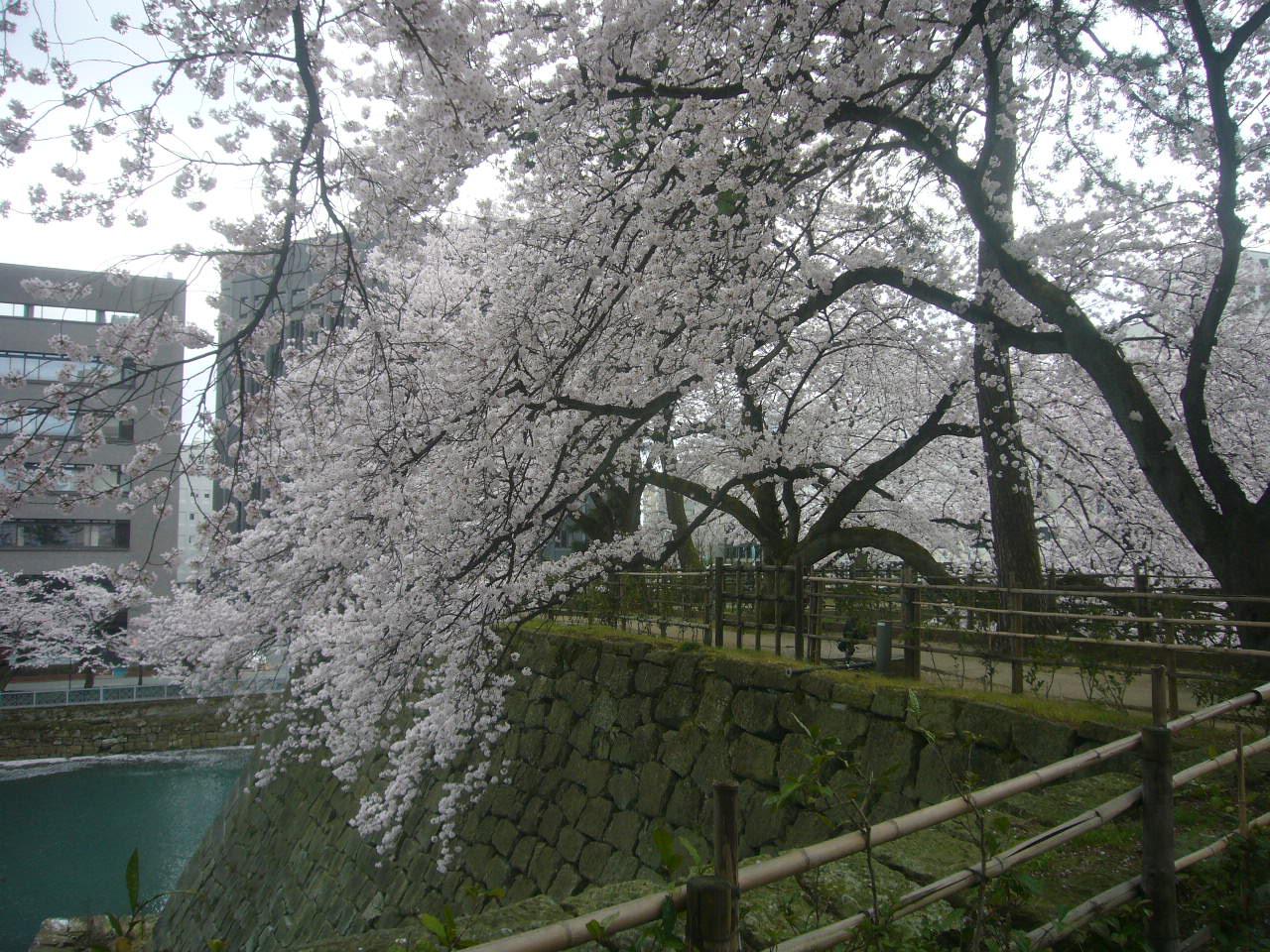 福井城址南天守 桜咲く H28.4.3