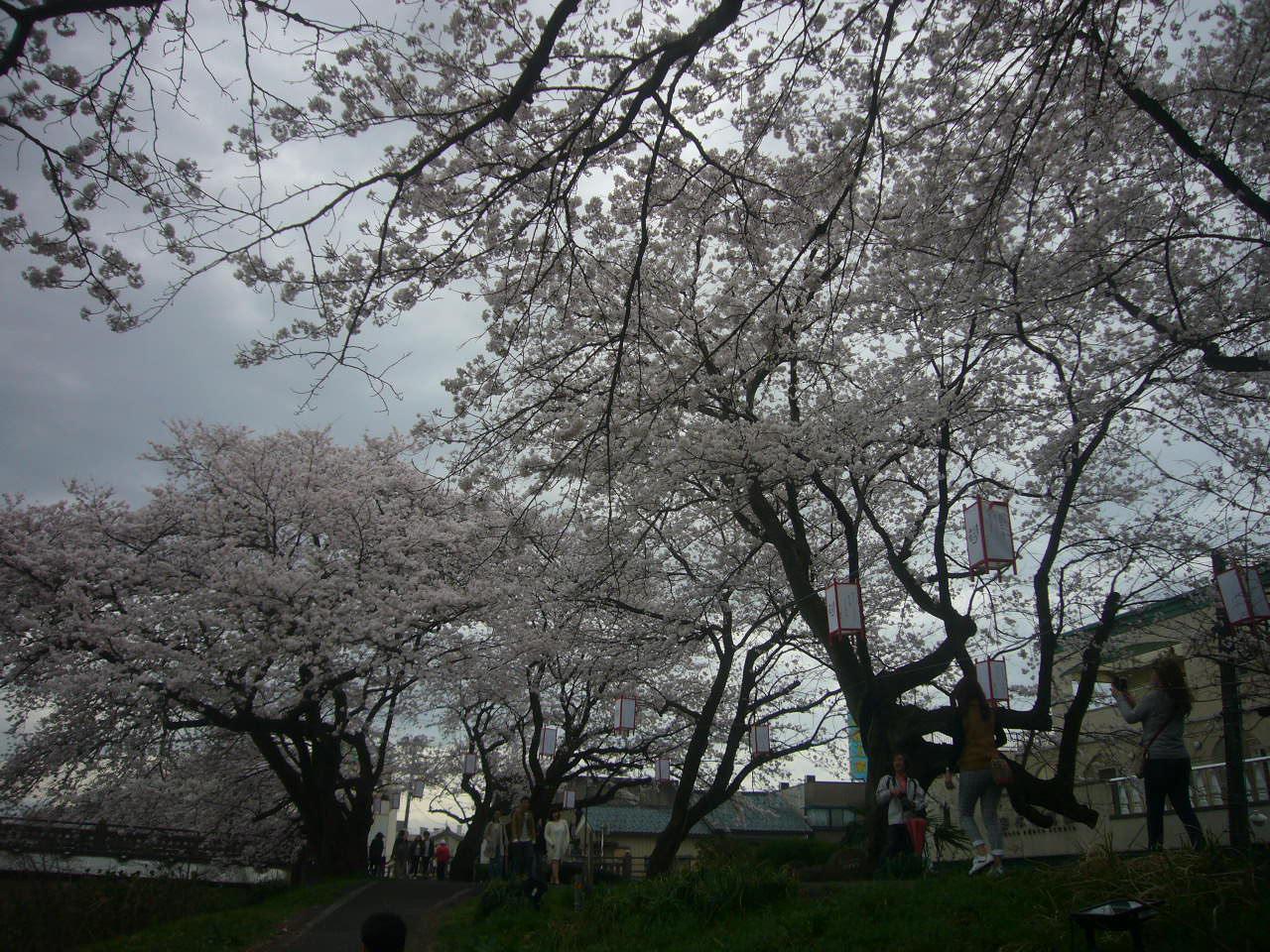 足羽川堤防 満開の桜 H28.4.3