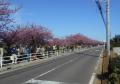 向かい側から見た沿線の桜