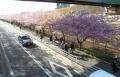 陸橋から見た沿線の桜