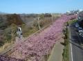 上から見る沿線の桜①