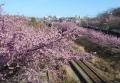 上から見る沿線の桜②