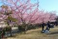 河津桜の下での花見