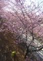 上の公園から見た桜並木