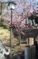 ここにも河津桜が
