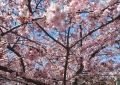 河津桜のアップ写真