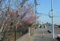 272沿いの河津桜