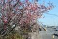 桜の前に紅梅が