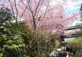 雅桜(椿山荘)