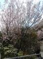 啓翁桜(椿山荘)