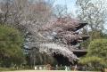 三重塔とソメイヨシノ(椿山荘)