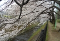 川面に向かう桜